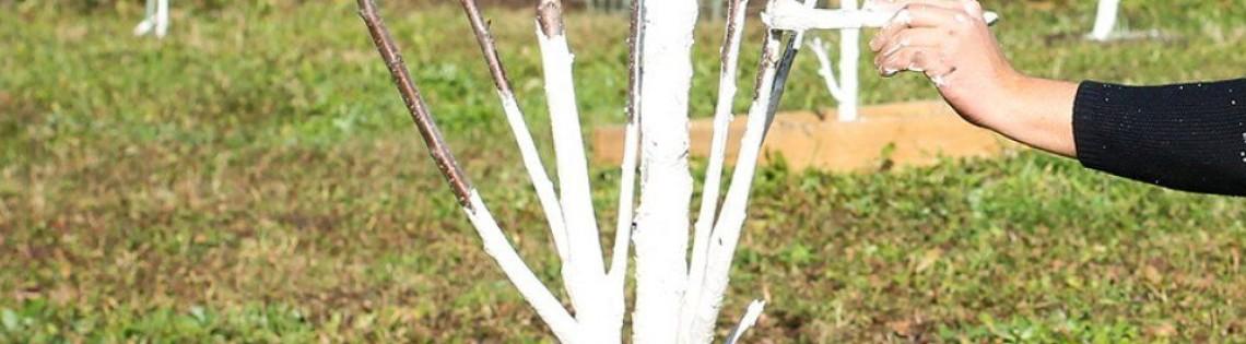 'Белим деревья гашеной известью весной и осенью