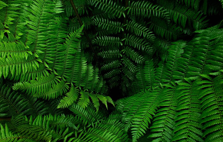 Зелень папоротника